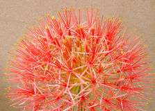Powder puff lily or Blood flower on brown background Royalty Free Stock Images