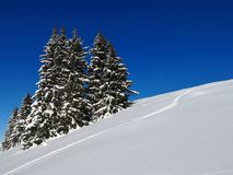 Powder snow and spruces, Stock Images