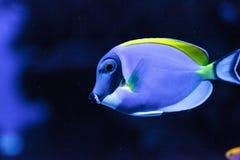 Powderblue Geruchfische Acanthurus leucosternon Stockbild