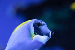 Powderblue Geruchfische Acanthurus leucosternon Stockbilder