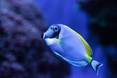 Powderblue Geruchfische Acanthurus leucosternon Lizenzfreies Stockbild