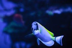 Powderblue Geruchfische Acanthurus leucosternon Stockfoto