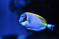 Powderblue Geruchfische Acanthurus leucosternon Lizenzfreies Stockfoto