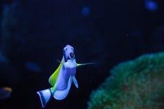 Powderblue Geruchfische Acanthurus leucosternon Lizenzfreie Stockfotografie