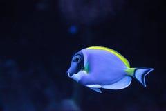 Powderblue Geruchfische Acanthurus leucosternon Lizenzfreie Stockfotos