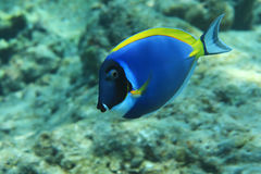 Powderblue Surgeonfish Lizenzfreies Stockbild