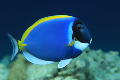 Powderblue Surgeonfish Lizenzfreie Stockfotos