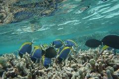 Powderblue Surgeonfish Acanthurus leucosternon Lizenzfreie Stockfotografie
