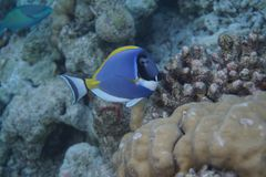 Powderblue Surgeonfish Acanthurus leucosternon Stockfotos