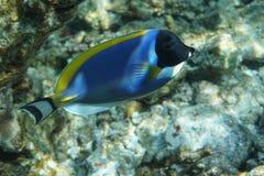 Powderblue Surgeonfish Acanthurus leucosternon Lizenzfreie Stockbilder