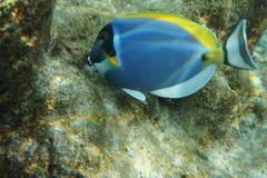Powderblue Surgeonfish Acanthurus leucosternon Stockbild