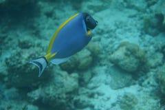 Powderblue Surgeonfish Acanthurus leucosternon Lizenzfreie Stockfotos