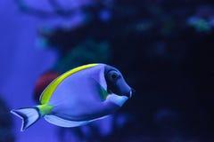 Powderblue tang fish Acanthurus leucosternon Stock Images