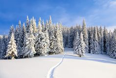 Powdered with snow tall fir-trees silently contemplate a daredevil who makes a path through in the winter cold day. Bemused Christmas trees under covered with Royalty Free Stock Image