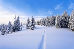 Powdered with snow tall fir-trees silently contemplate a daredevil who makes a path through in the winter cold day. Bemused Christmas trees under covered with Royalty Free Stock Photo