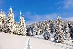 Powdered with snow tall fir-trees silently contemplate a daredevil who makes a path through in the winter cold day. Bemused Christmas trees under covered with Royalty Free Stock Photos