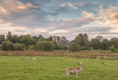 Powderham Castle Dear Royalty Free Stock Image