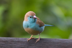 Powderpuff Blue Waxbill royalty free stock photos