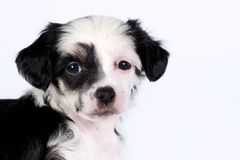 Powderpuff puppy Royalty Free Stock Photo