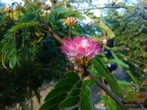 Powderpuff rosa-rosso Fotografie Stock Libere da Diritti