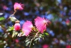 Powderpuff rosa vermelha Fotografia de Stock Royalty Free