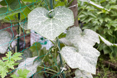 Powdery mildew Stock Photos