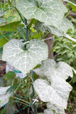 Powdery mildew Royalty Free Stock Image