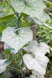 Powdery mildew Royalty Free Stock Image