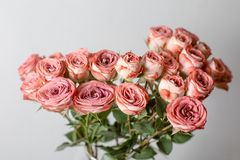 Powdery pink color. Flower branch rose, Buds, close-up. Stock Images
