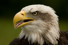 Power. This photo shows a close up of a bald eagle. It means power, self-confident, vision, anticipation., security Stock Images