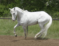 Power. A white horse prancing against a green foliage background Stock Photography