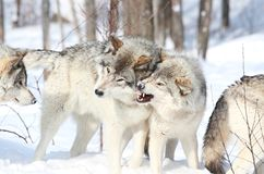 Power. Wolves demonstrating domination behavior in nature during winter Royalty Free Stock Images