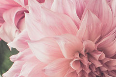 Power flower pink soft tone Royalty Free Stock Photos
