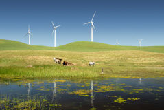 Power Generating Windmills and Livestock. Reflection of Stark White Electrical Power Generating Windmills, Turbines on Rolling Hills of Green, Livestock, Cattle royalty free stock images