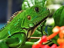 THE POWER OF THE GREEN IGUANA stock images