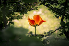 The power of life. A wonderful unique mysterious tulip shining through a dark bush Stock Images