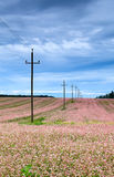 Power line. Leading through a field of pink flowers Royalty Free Stock Images