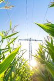 Power line above corn field symbolizing green energy. Vertical shot of power line above corn field symbolizing green and renewable energy stock image