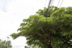 The power line in the big tree. Not Security Stock Photo