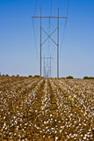 Power Lines and Cotton Rows-6512cl. Rows of cotton with a huge electrical power line running through it Royalty Free Stock Photography