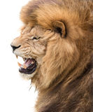 Power of lion Royalty Free Stock Photography