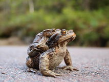 The power of love. Frogs mating, a scene from the beauty and power of love Stock Photos
