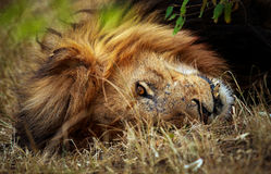 Power napping lion. A massive male was disturbed by our safari landcruiser and gave us a irritated look as he napped under the shade of a bush Stock Image