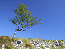 Power of nature - endurance. Lonely birch. Powerful tree. Dwarfed, but enduring Royalty Free Stock Photo