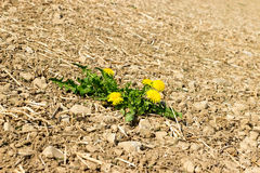 Power of nature. A green plant grows on dry soil Stock Photography