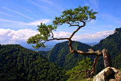 Power of nature. Pine on Sokolica Stock Images