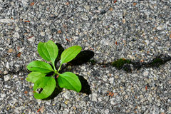 Green plant growing in asphalt Royalty Free Stock Photography