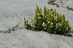 The power of nature - a wild plant that grows in the rock. Spave for text stock images