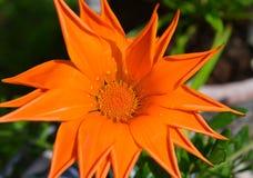 The power of orange. Orange summer flower in my garden Stock Photos