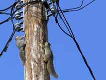 Power Play. Fox squirrels (Sciurus Niger) race up a telephone pole to play with wire, cable, and line connections.  Text space right side Royalty Free Stock Photography